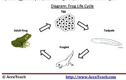 Frog Life Cycle Reading Comprehension